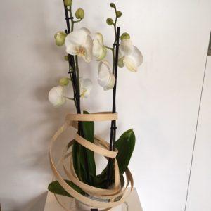 Orchidee-met-pot